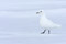 An ivory gull against snow and ice. Lancaster Sound, Baffin Island, Nunavut, Canada.