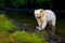 After catching a female salmon, a spirit bear opens her belly using his nail with  near surgical precision and eats the eggs. Great Bear Rainforest, BC, Canada.